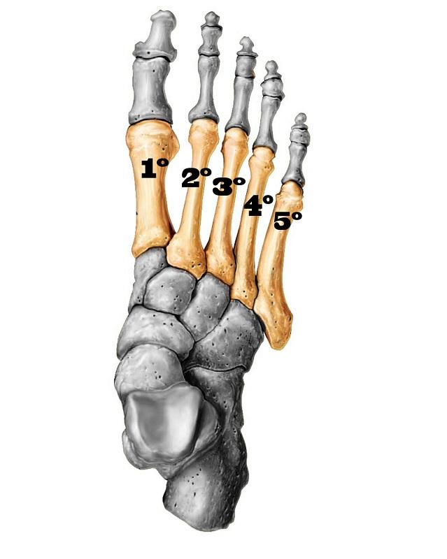 Imagem ilustrativa mostrando onde estão localizados os ossos metatarsos